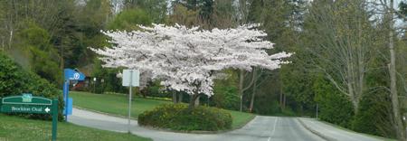 Sakura Stanley Park.jpg